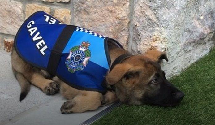 Este perrito fue expulsado de la policía por ser