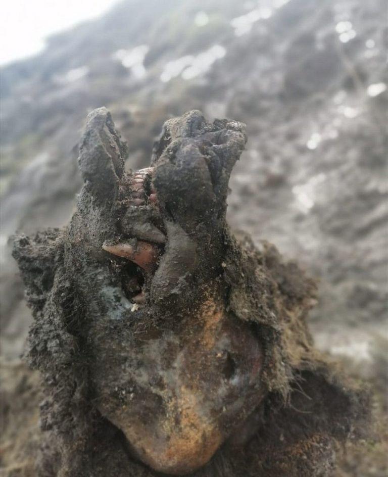Encuentran en Siberia un oso de la Edad de Hielo