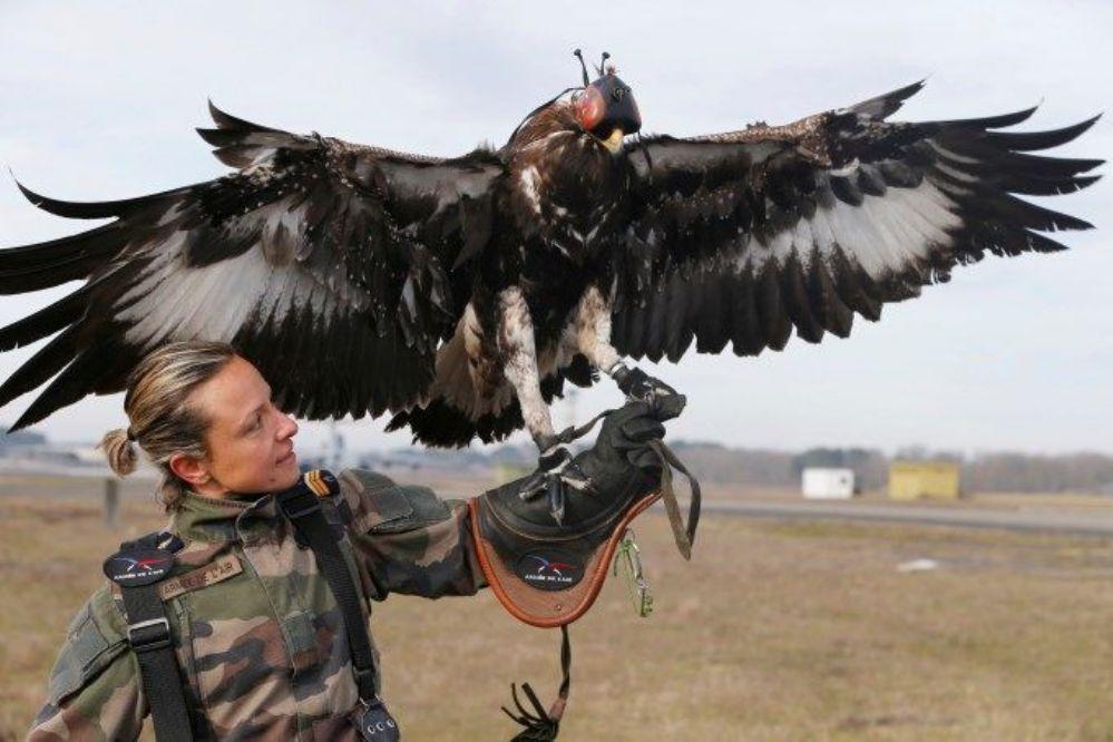 Francia: Entrenan águilas para derribar drones